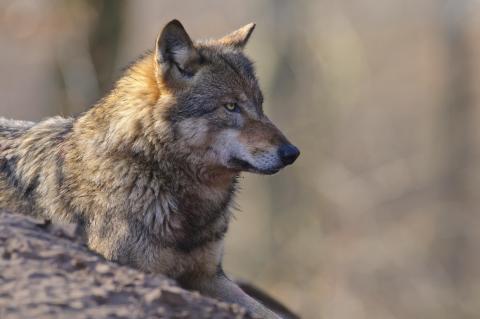 Liegender Wolf