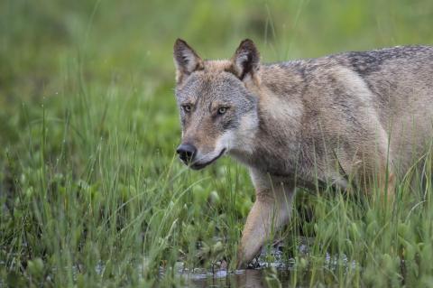 pirschender Wolf auf Wiese