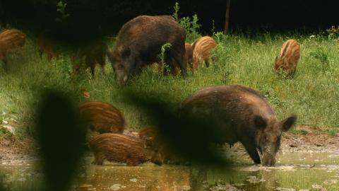 Schwarzwild DVD Auf der Jagd