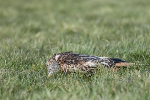 Rotmilan, der einem Windrad zum Opfer fiel (Quelle: Seifert/DJV)