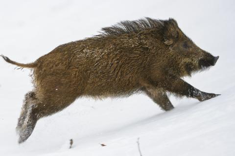 Ein flüchtiger Frischling im Schnee