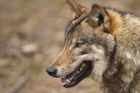 Der Wolf ist eine streng geschützte Art und unterliegt in Baden-Württemberg nicht dem Jagdrecht. (Quelle: DJV)