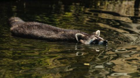 Waschbär, schwimmend