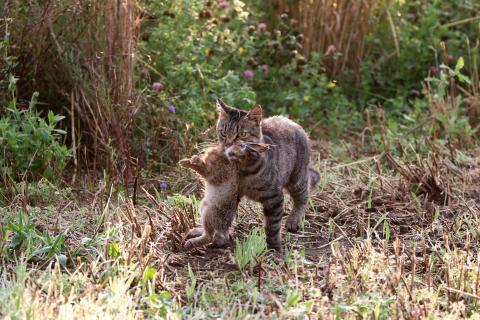 Wildernde Katze