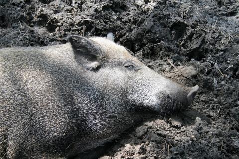 Ein Wildschwein findet in der Suhle Abkühlung und Parasitenschutz (Quelle: DJV)