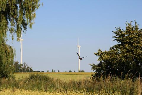 Fliegende Stockente vor Windrad
