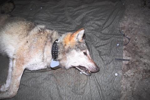 Wölfe werden betäubt und mit einem GPS-Halsband versehen. (Quelle: Stier/Meißner-Hylanová)