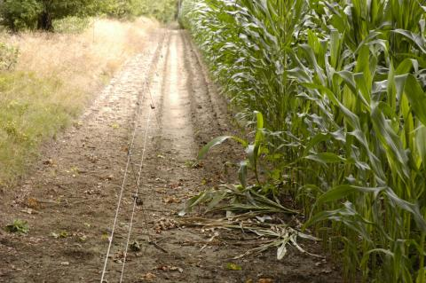 Elektrozaun entlang eines Maisfeldes