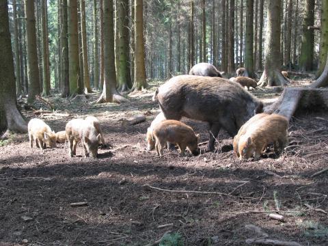 Wildschweinjagd: 16,4 Millionen Stunden waren Jäger in der Saison 2017/18 auf der Lauer (Quelle: Loose/DJV)