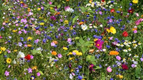 Blühflächen sorgen für mehr Artenvielfalt im Offenland.  (Quelle: Lintow/LJV RLP)