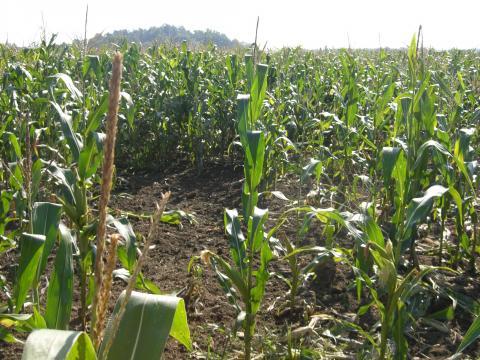 Wildschäden im Maisfeld