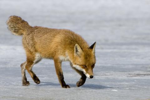 Fuchs im Winter