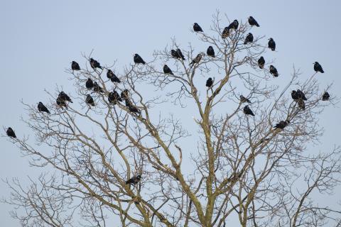 Rabenvögel in der Krone eines Baumes