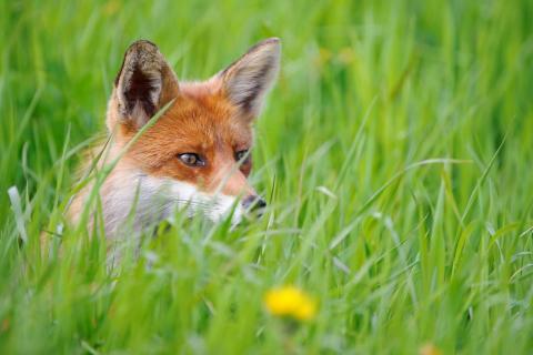 Die Jagd auf Raubsäuger wie Fuchs, Marder oder Waschbär ist in Deutschland ein probates Mittel, um bedrohten Arten zu helfen. (Quelle: Rolfes/DJV)