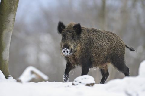 Gefährdet Haus- und Wildschweine: die Afrikanische Schweinepest (Quelle: Rolfes/DJV)