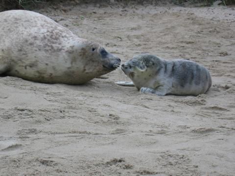 Seehund mit Jungtier