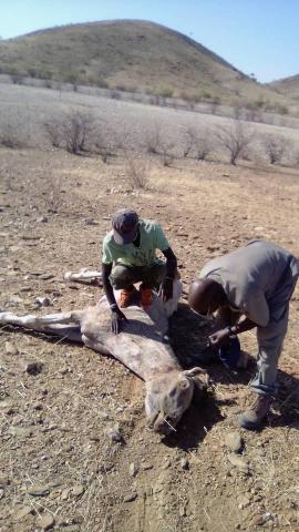 Übergriffe von Löwen auf Haus- und Nutztiere oder gar Menschen führen zur Verfolgung der Großkatze durch die lokale Bevölkerung. Oft werden Giftköder ausgelegt.