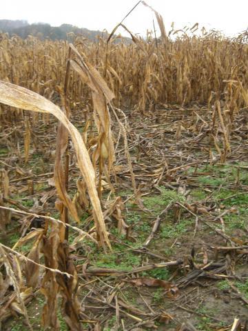 Schwarzwildschäden im Mais