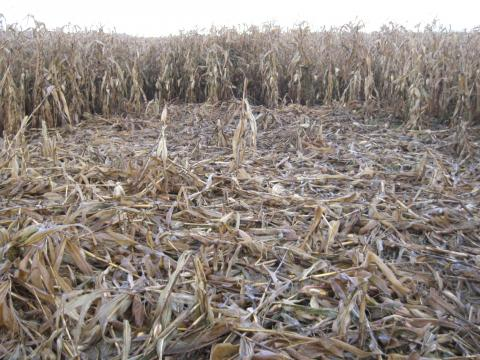 Wildschaden im Mais