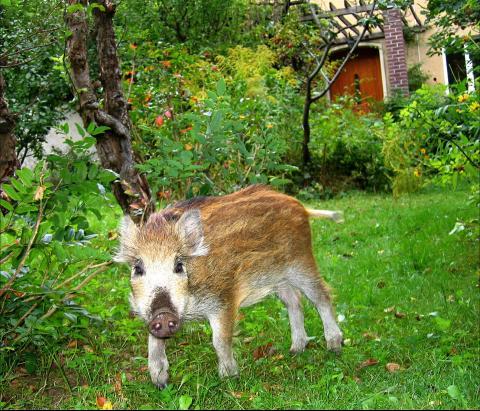 Frischling im Garten