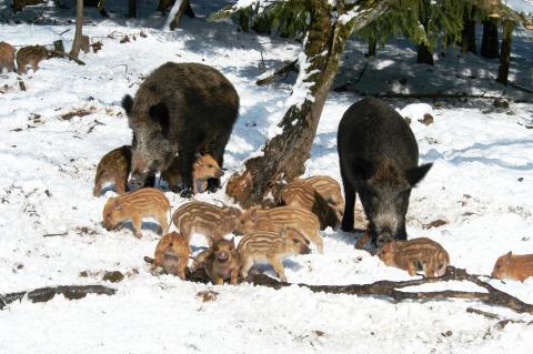 Frischlinge im Schnee (Quelle: Niesters/DJV)