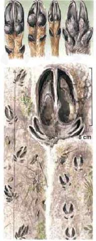 Fährtenzeichnung Rotwild