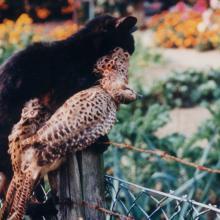 Katze mit Fasanenhenne