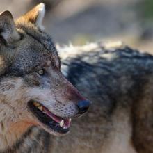 Entnahme von Wölfen soll künftig einfacher werden. Doch Spielräume des EU-Rechts werden weiterhin nicht genutzt, Schäden an Nutztieren steigen weiter.