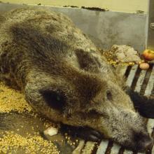 An der afrikanischen Schweinepest erkranktes Wildschwein