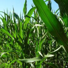 Maisfeld mit Feldkante
