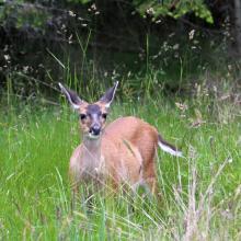 Black-tailed deer (Schwarzwedelhirsch)