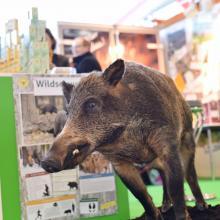 Lernort Natur Wildschwein