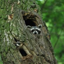 Waschbären in Baumhöhle