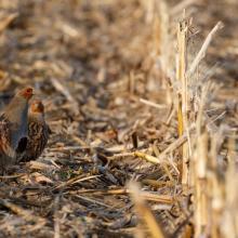 Rebhuhnpaar steht in  Maisstoppeln (er vorn, sie dahinter)