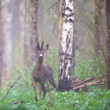 Rehbock vor Birke in Naturverjüngung