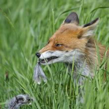 Fuchs mit gerissenem Vogelwild im Fang