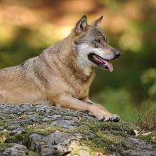 Wolf im Sommer
