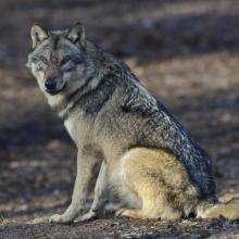 Sitzender Wolf