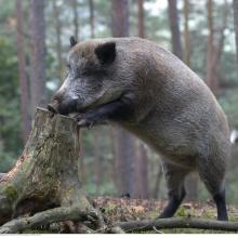Wildschwein auf Baumstamm