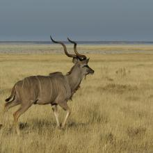Großkudu, Etosha Nationalpark, Namibia