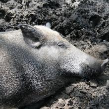 Wildschwein im Sommer in Suhle