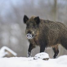 Wildschwein im Schnee