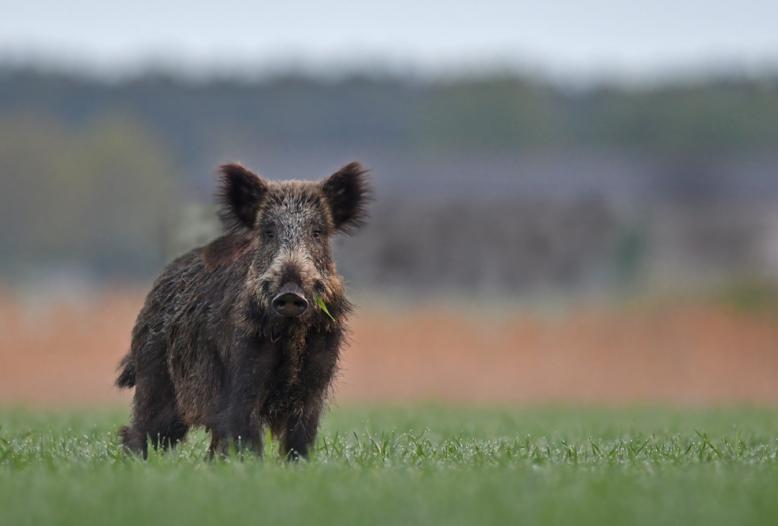 Bundesagrarministerin Julia Klöckner (CDU) will die Afrikanische Schweinepest (ASP) in Brandenburg so rasch wie möglich wieder eliminieren.