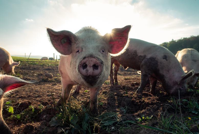 Von ASP zuerst betroffen: extensive Haltungsformen wie die ökologische Schweinehaltung im Freiland.