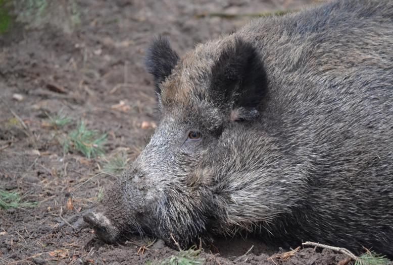 Die hochansteckende Afrikanische Schweinepest ist in Brandenburg bei sieben toten Wildschweinen nachgewiesen worden.