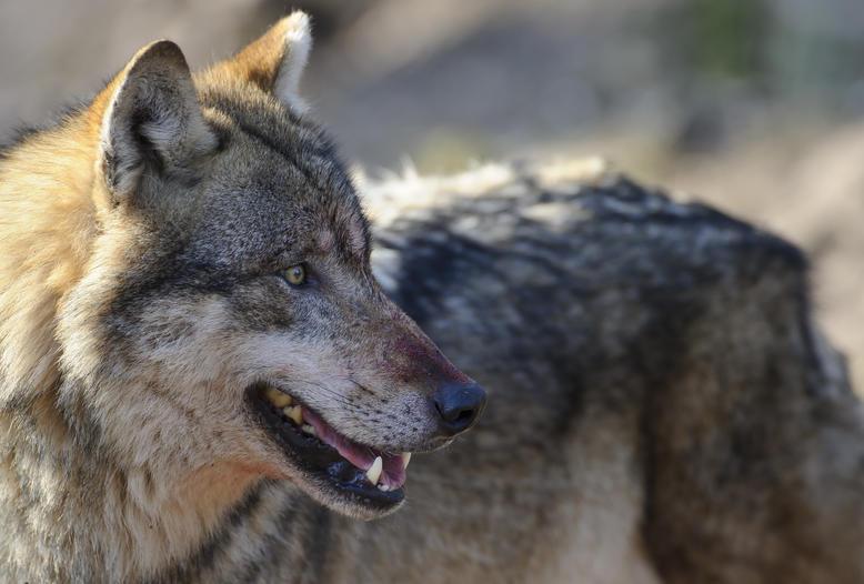 Anlässlich des Tag des Wolfes macht die Initiative Wolf bleibt Wolf aufmerksam auf stark zunehmende Risse von Nutztieren.