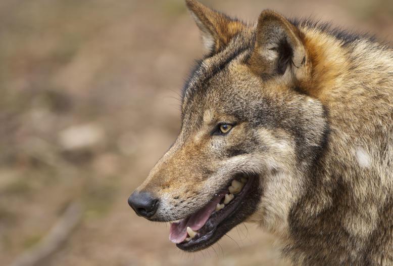 Jäger tötet Wolf – Freispruch wegen Notstand.
