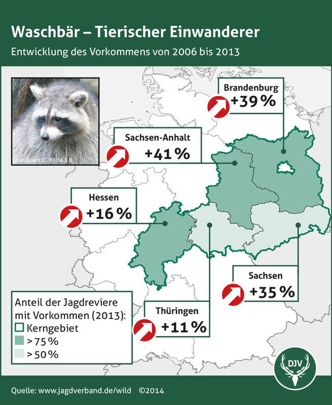 Waschbär - Entwicklung des Vorkommens 2006 bis 2013 (Quelle: DJV)