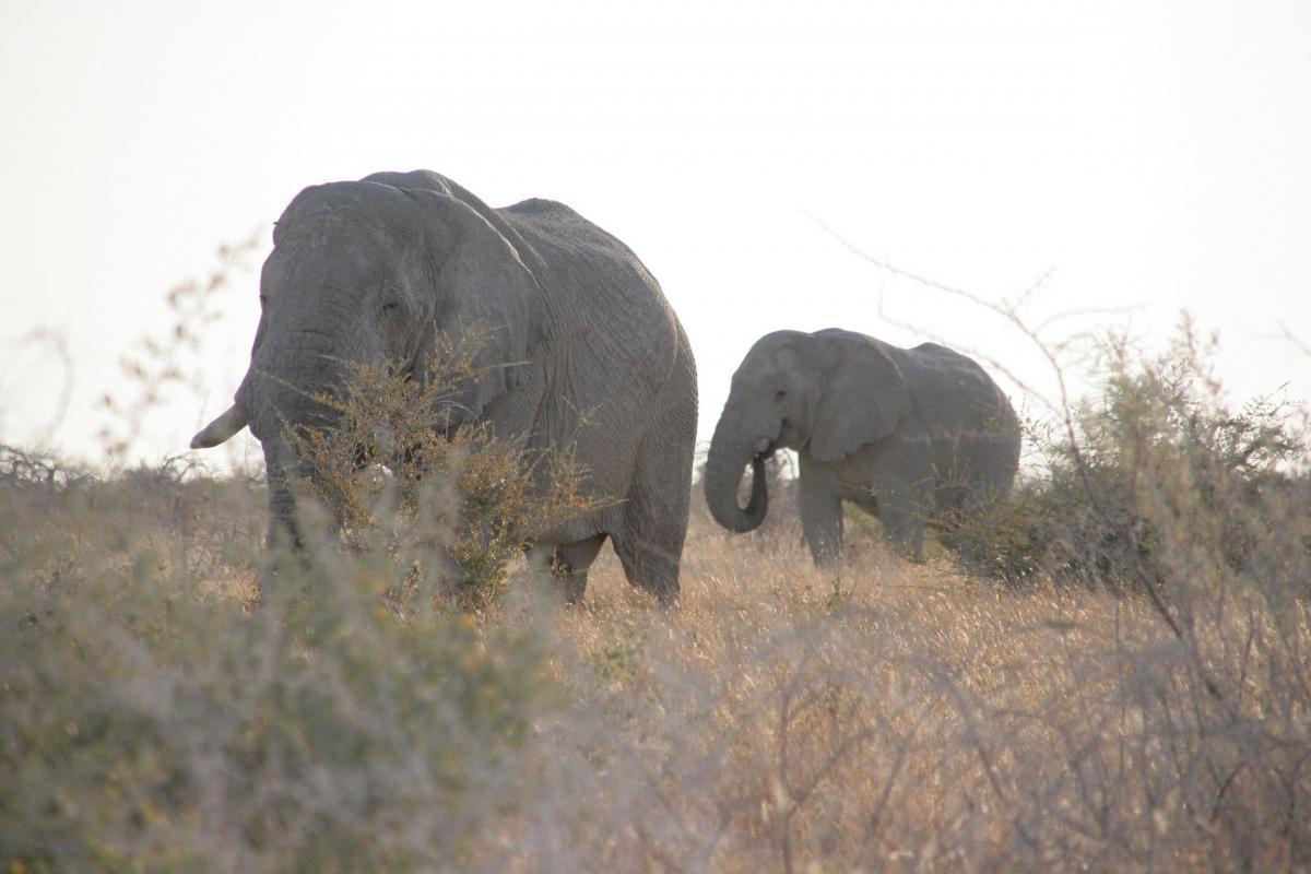 Elefanten verursachen Schden an landwirtschaftlichen Kulturen