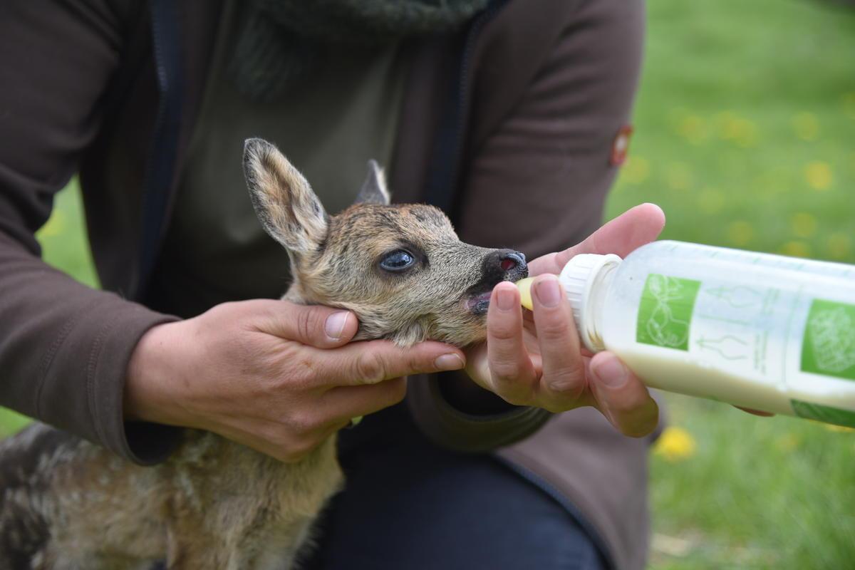 Rehkitz Käthe mit der Flasche (Quelle: Kaufmann/DJV)